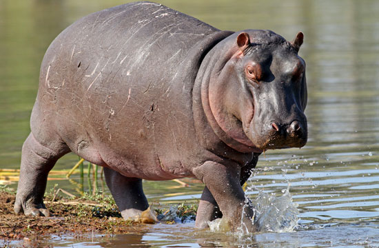 colombia terrorized by dead drug lord u0026 39 s hippos