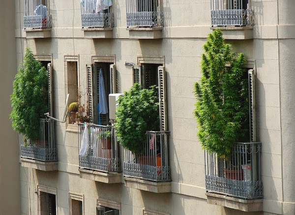 Legal weed growing in Barcelona apartments. Photo via