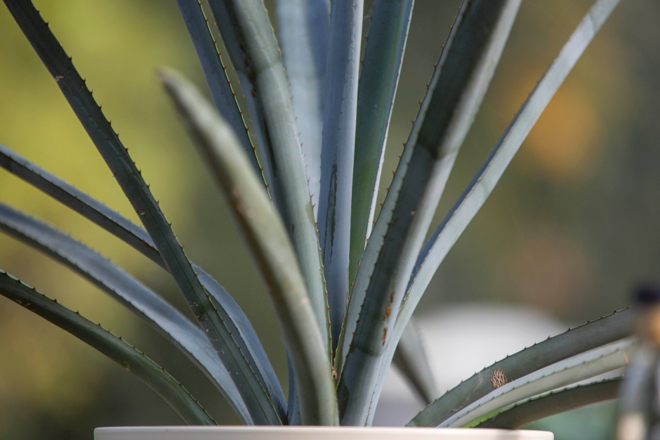 Blue Agave (tequila ingredient)