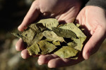 substance-shutter279276824-hand-holding-coca-leaves