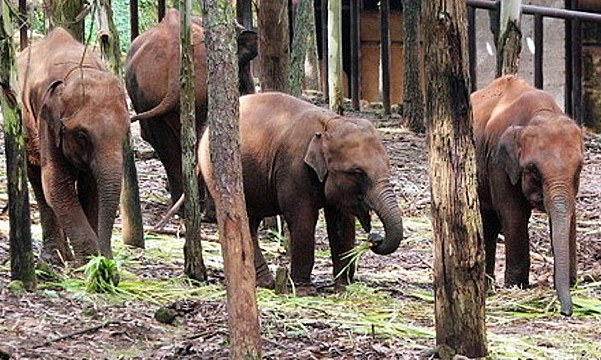 The elephants became restless and unruly when forced to go cold turkey. Photo via