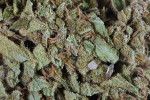 substance-shutter410296597-marijuana-close-up